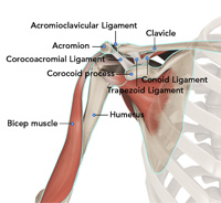 Normal Anatomy of the Shoulder Joint